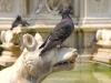 16-dsc_0160-sienne-pigeon